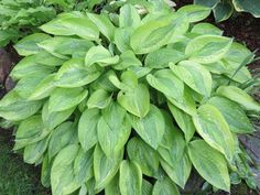 Hosta Yellow Dot Bikinl Hostas