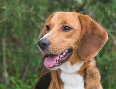 My name is Evan and I'm a short hound  mix looking for my new forever home in the DC area. Visit ruraldogrescue.com for more details on me an other adorable adoptables.