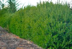 Pacific-Wax-Myrtle-Screening-Hedge