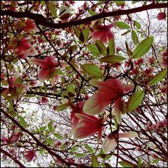 viva la magnolia