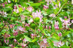 pink Honeysuckle Plant | Pink honeysuckle | plants in my garden in France | Pinterest