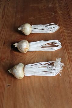 Hyacinth Bulbs with their brittle white roots.