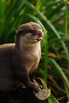 Otter to Attention by Shadow-and-Flame-86.deviantart.com on @deviantART