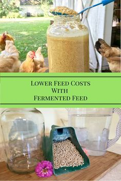 Make this fermented feed to lower your feed bill and give your flock a healthier diet!