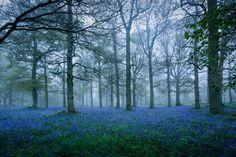Bluebells in the Fog - by Matthew Dartford