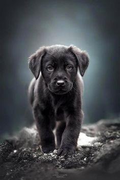 Alles, was wir an dem begeisterten schwarzen Labrador Retriever-Welpen mögen . - Alles, was wir an dem begeisterten schwarzen Labrador Retriever-Welpen mögen … Alles, wa - Black Lab Puppies, Cute Dogs And Puppies, Baby Dogs, Pet Dogs, Black Puppy, Doggies, Small Puppies, Puppies Tips, Fluffy Puppies