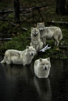 Beautiful wolves. Photograph by Daniel Parent.