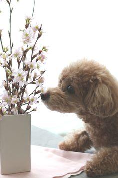 toy poodle & sakura