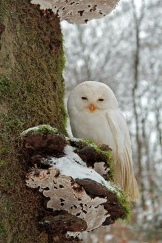 White Tawny owl (strix aluco) in the Harz Region Germany