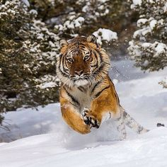 Tiger Jumping in Snow   Photography by @chjobic #wildlifeowners