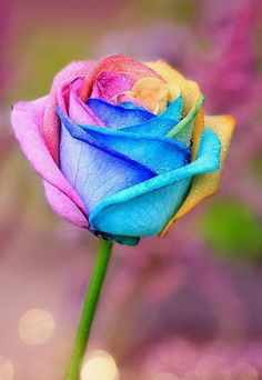 55 Good Morning Rose Flowers Images Pictures With Romantic, Red Roses Beautiful Flowers Wallpapers, Beautiful Rose Flowers, Pretty Roses, Pretty Flowers, Rainbow Wallpaper, Flower Wallpaper, Good Morning Roses, Rose Pictures, Rainbow Flowers