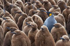 Adult King Penguin (Aptenodytes patagonicus) standing amongst a large group of nearly fully grown chicks at Volunteer Point in the Falkland Islands. National Geographic, Stem Majors, King Penguin, Bon Film, Work With Animals, Marketing Tactics, Culture Shock, Best Stocks, Its Okay