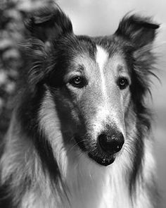 "The Original ""Lassie"" real name ""Pal"" was in ""Lassie Come Home"" and was owned and trained by Rudd Weatherwax"