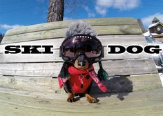 Dachshund Tries Snow Skiing and Loves It! - Page 2 of 2 - Doxie Fan Club Crazy Halloween Costumes, Best Dog Costumes, Crusoe The Celebrity Dachshund, Dachshund Love, Daschund, Dachshund Humor, Dachshund Clothes, Dachshund Gifts, Weenie Dogs