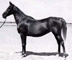 Sabah (Mabrouk-Manial x Bint Obeya) 1920 chestnut mare