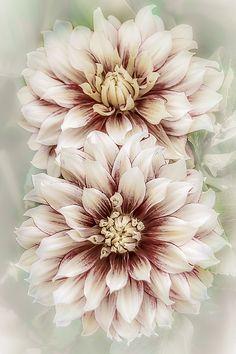 Two Vintage Dahlias Julie Palencia Photography www. - My site Rare Flowers, Amazing Flowers, Beautiful Flowers, Dahlia Flower Tattoos, Flower Tattoo Designs, Cut Flower Garden, Flower Art, Art Floral Japonais, Chrysanthemum Flower
