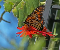 A Monarch Butterfly Sips Nectar from a Brilliant Orange Flame Vine