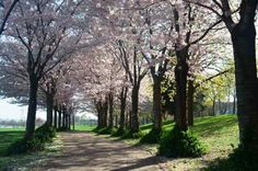 Spencer Smith's flowering cherry trees donated to the city of Burlington, Ontario, Canada by the people of Itabashi, Japan.  Burlington has been twinned with Itabashi, Japan since 1989.