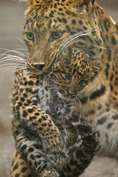 """Mom Leopard With Her Cub:  """"Gotcha, you little rascal!""""  Cub replies: """"Okay Mom!  I know this is the correct way to carry me, but please don't drop me!"""""""