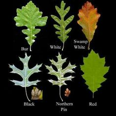 Various oak leaves