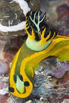 17 Best images about Nudibranchs Underwater Creatures, Ocean Creatures, Weird Creatures, Beautiful Sea Creatures, Animals Beautiful, Animals And Pets, Cute Animals, Sea Snail, Sea Slug
