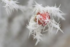 Ice crystals on rose hip