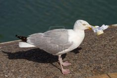 Picture of A Herring Gull (Larus Argentatus) holding some garbage as food in its beak stock photo, images and stock photography. Herring Gull, Hold On, Animals, Food, Animales, Animaux, Naruto Sad, Essen, Animal