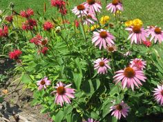 Cone flower & bee balm