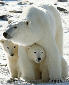 Polar bear pic by Zap - The key danger posed by climate change is malnutrition or starvation due to habitat loss. Polar bears hunt seals from a platform of sea ice. Rising temperatures cause the sea ice to melt earlier in the year, driving the bears to shore before they have built sufficient fat reserves to survive the period of scarce food in the late summer and early fall.