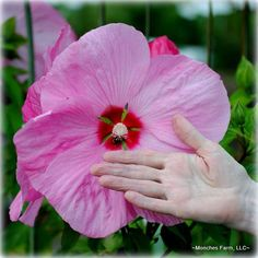 Pink elephant hibiscus this hibiscus is known for its vibrant color pink flower at kates house mightylinksfo