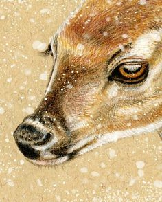 White-tail deer head - colored pencil, pen & ink