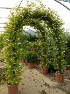 trachelospermum jasminoides trellis - Google Search