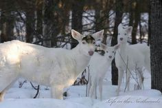 Fawns with Albino Buck who has just shed his antlers