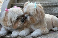 """Lhasa Apso * * """" Bro, I don'ts like our names. Rags & Riches, and yer Riches. I feel like a sleeze-bag of rags. Puppies And Kitties, Cute Puppies, Cute Dogs, Doggies, Boxer Puppies, Boxer Mix, Lhasa Apso Puppies, Bichon Frise, Animals Beautiful"""