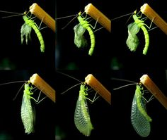 green lacewings - Google Search