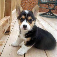 Pembroke Welsh Corgi (Black-Tri) by h0r70n