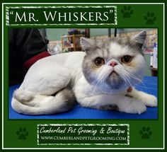 Whiskers is a wonderful kitty! Exotic Shorthair, Cat Grooming, Cat Hairstyles, Things To Come, Kitty, Pets, Animals, Little Kitty, Animales