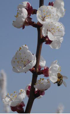 Fleißige Biene an Piemont-Kirschblüten im März 2017!