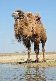 """Image result for """"bactrian camel"""" saddle"""