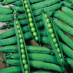 PISUM sativum - Hurst Green Shaft - Mazare cu teci lungi