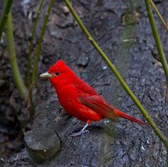 Have a bee or wasp problem? Summer tanagers might be your new best friends! These birds catch bees and wasps in flight, then beat them against a branch before eating them for dinner.  Photo: Summer tanager courtesy of Teddy Llovet/Creative Commons.