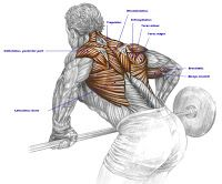 Fitness and Muscle Work: Bent Rows