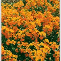 Amazon.com : Best Garden Seeds Yellow Siberian Wallflower Flower Seeds, 50 Seeds, Easy To Grow Hardy Attractive Impressive : Patio, Lawn & Garden
