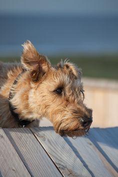 """Irish Terrier """"Frieda"""""""