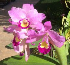 Cattleya Portia, primary orchid hybrid of Catt. bowringiana x C. labiata