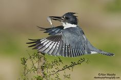 Belted-Kingfisher-by Alan Murphy.