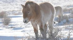The reintroduced Przewalski's horses must endure harsh winters (Credit: Claudia Feh/TAKH)