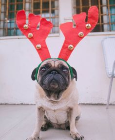 Merry kisssssmaaaaassss to everyone 🎄🎄🎄. It's the time to be happy and never stop loving. Christmas Time, Merry Christmas, He Day, Pug Love, Pugs, French Bulldog, Festive, Personality, Happiness
