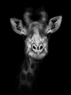 The #Giraffe <3 #animals