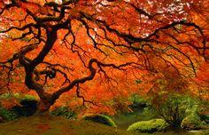 Japanese Maple, Portland Japanese Garden, Oregon